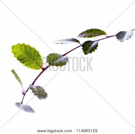 Elm Leaves Over White