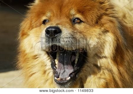 Chow Yawning