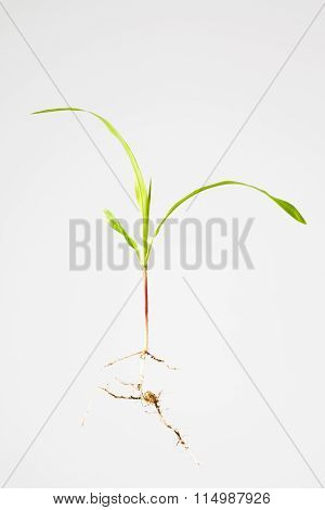Maize Plant Seedling