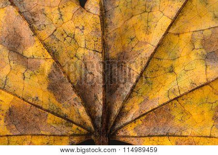 Palmate Leaf Background