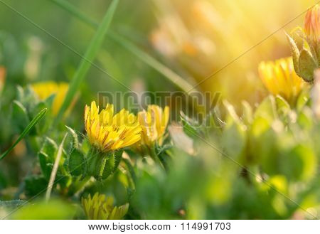 Yellow flowers in meadow illuminated by sunlight