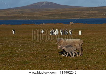 Sheep and king Penguins