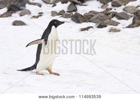 Adelie Penguin Walking On Paulet Island, Antarctica