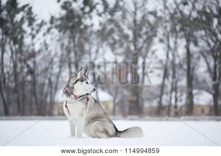 Siberian Husky Sits On Snow In Field.
