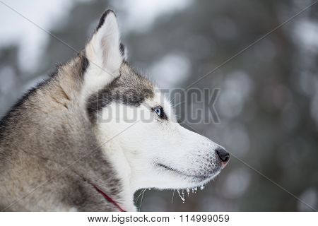 Portrait Of A Siberian Husky In Profile.