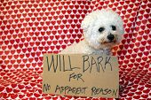 A pure breed Bichon Frise dog sits with a cardboard sign that reads WILL BARK FOR NO APPARENT REASON poster