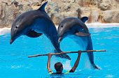 image of dauphin  - photo of dolphins doing a show in the swimmingpool  - JPG