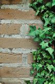 pic of english ivy  - Green English Ivy leafs growing all over an adobe brick wall - JPG