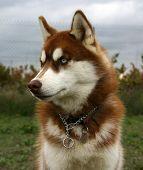 foto of youg  - youg purebred siberian husky - JPG