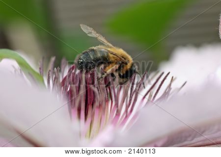 Nice Bee Close Up