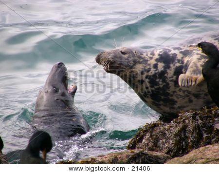 Seal Aggression
