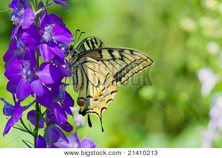 Old World Swallowtail butterfly on a blue flower