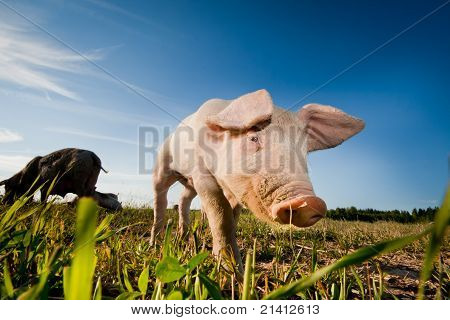 Young Pig Walking On A Field