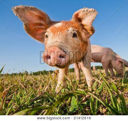 Young Pig Standing On A Pigfarm