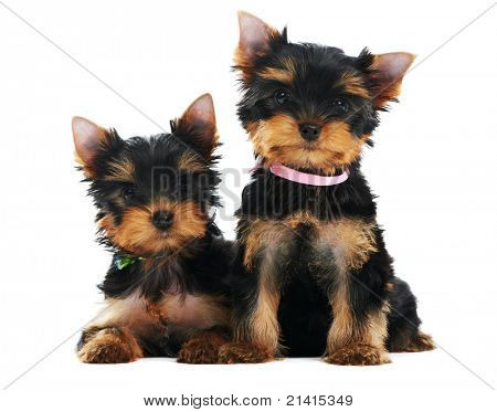 Two little Yorkshire Terrier (3 month) puppies dog isolated over white background