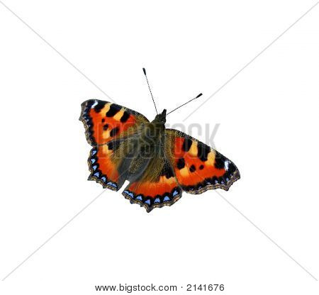 Tortoiseshell On The White