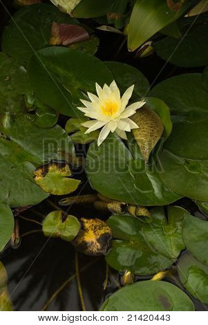 Open Yellow Flower On Lily Pads Floating In Pond.