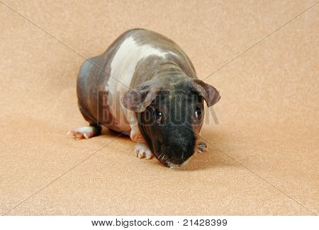 Naked Cavy Sitting On Beige Background