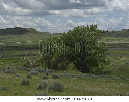 Cottonwood Landscape