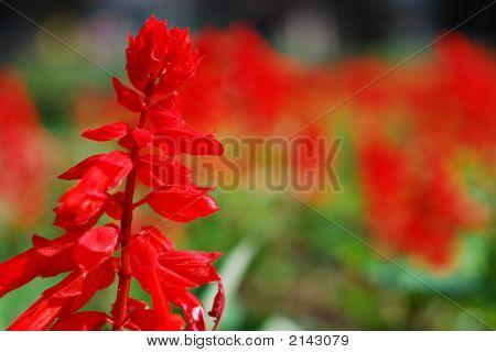 Red Flowers Bokeh