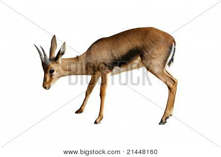 Gazelle Isolated On White