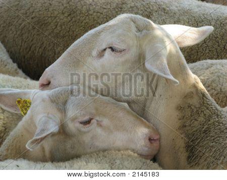 Herd Of Ewes