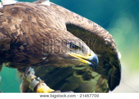 Aquila Chrysaetos (Golden eagle)