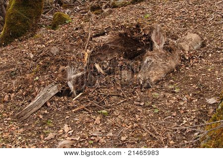 A Deer Cached By A Bobcat