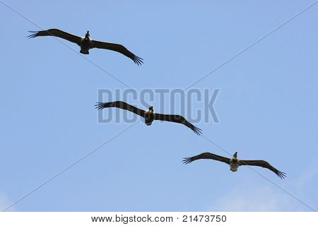 A row of three Brown Pelicans flying in formation, Costa Rica