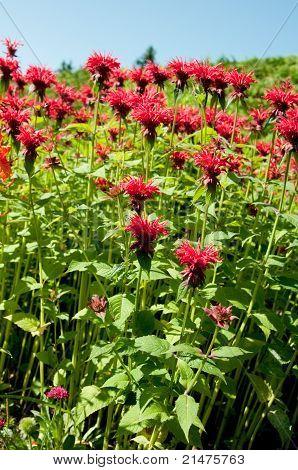 Field Red Flowers