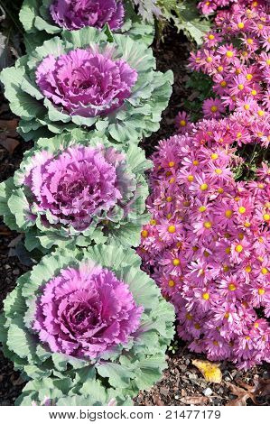 Red Cabbage And Pink Mums