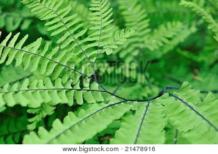 Adiantum Aleuticum, Western Maidenhair Fern