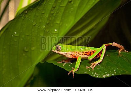 green tree frog crawling on leaf in tropical amazon rain forest. Beautiful amphibian with bright colors at night in jungle. macro with copy space
