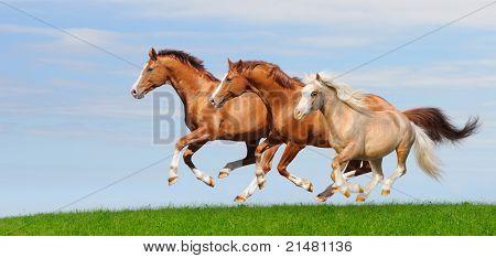 Three trakehner sorrel stallions gallop in field