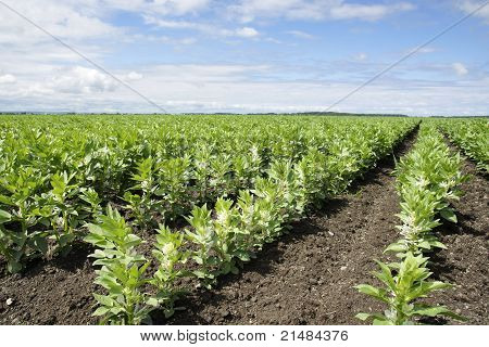 Rows Of Broad Or Fava Bean On Diagonal