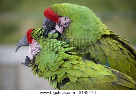 Green Military Mccaws--Love Bite