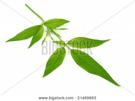 Medicinal Nishinda leaves