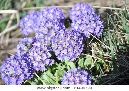 Close up of purple mountain flowers