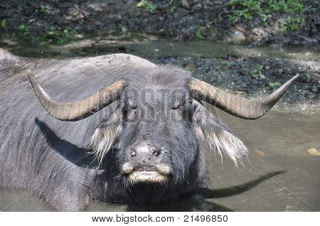 Nepalese water buffalo