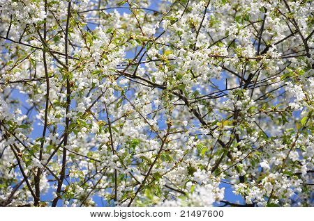 Cherry Flowers (prunus Avium)
