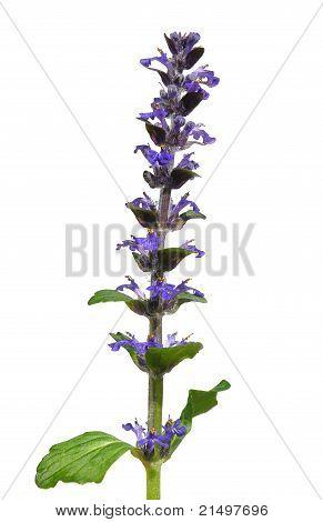 Blue Bugle (ajuga Reptans)