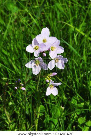 Cuckoo Flower (cardamine Pratensis)