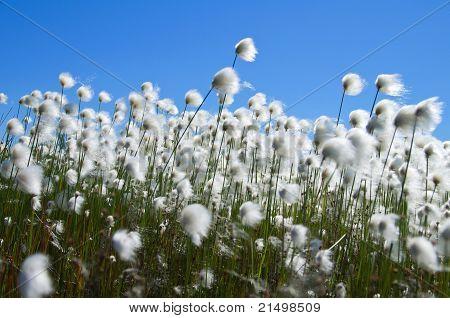 Ñotton Grass