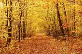 pic of fall trees  - fall in forest - JPG