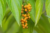 Wet Orange berry fruit of Golden Dewdrop, also known as Pigeon berry, Skyflower, flowering shrub gro poster