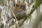 Tarsier in its natural environnement