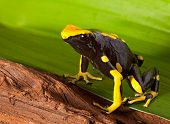 picture of orange poison frog  - frog with bright orange and black colors - JPG