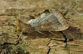 Burnished Brass Moth poster
