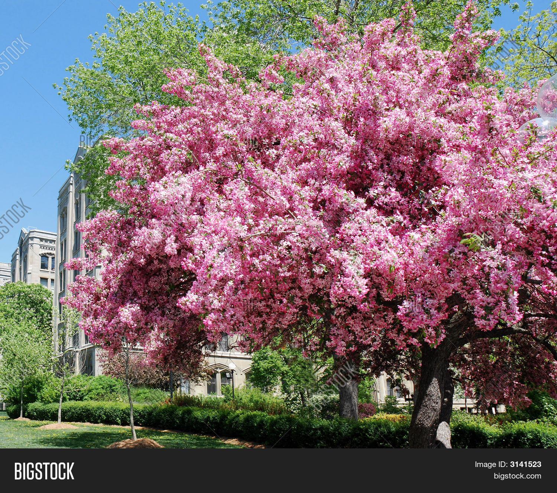 Flowering crabapple tree image photo bigstock for Small to medium trees for garden