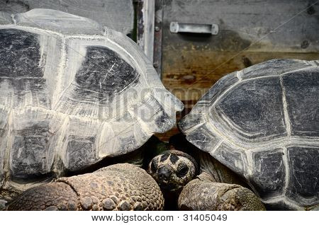 How Tortoises Cuddle